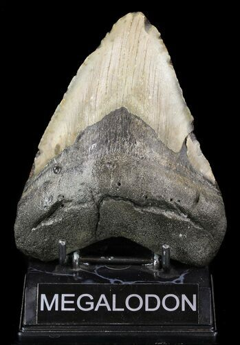 "Bargain, 5.29"" Megalodon Tooth - North Carolina"