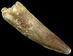 "2.66"" Spinosaurus Tooth - Real Dinosaur Tooth For Sale, #52079"