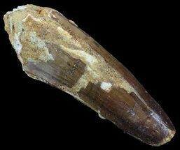 "2.82"" Spinosaurus Tooth - Real Dinosaur Tooth For Sale, #52091"