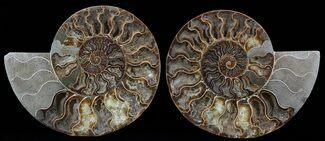 Cleoniceras - Fossils For Sale - #51240