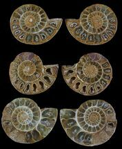 "1.5"" Jurassic Cut/Polished Ammonites - Cyber Monday Deal! For Sale, #52817"