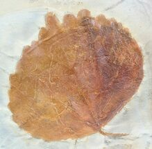 "2.9"" Fossil Leaf (Zizyphoides) - Montana For Sale, #53291"