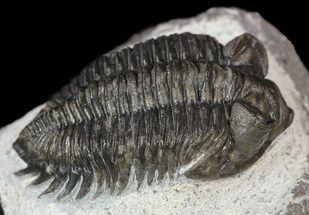 "Buy Bargain, 2"" Coltraneia - Bug Eyed Trilobite - #53554"