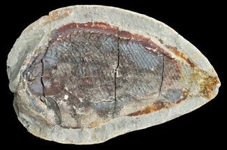 "4"" Triassic Fossil Fish In Nodule (Pos/Neg) - Madagascar For Sale, #53660"
