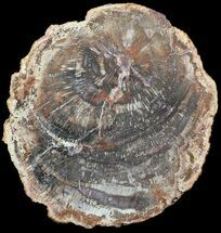 "13.4"" Colorful Petrified Wood Round - Madagascar For Sale, #54206"