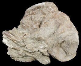 "3.6"" Xiphactinus (Cretaceous Fish) Vertebrae With Process - Kansas For Sale, #54512"