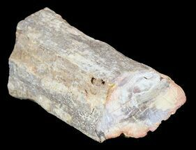 "Buy 3.4"" Polished Petrified Wood Limb - Madagascar - #54604"