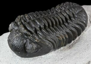 "Buy 1.8"" Detailed, Phacopid Trilobite - Morocco - #54394"