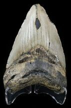 "Bargain 4.41"" Megalodon Tooth - North Carolina For Sale, #54770"