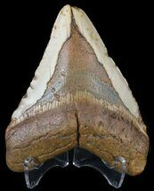 "Bargain, 4.79"" Megalodon Tooth - North Carolina For Sale, #54785"