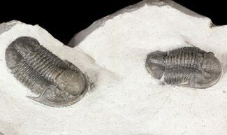 Pair Of Undescribed Proetid Trilobites From Jorf  For Sale, #54371