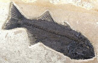 "Monster, 17"" Mioplosus Fossil Fish - Wyoming For Sale, #51338"