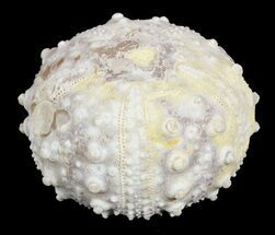 "1.6"" Goniopygus Fossil Echinoid (Sea Urchin) - Talsint, Morocco For Sale, #55931"