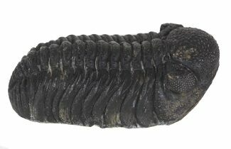 "2.1"" Austerops Trilobite Fossil - Rock Removed For Sale, #55853"