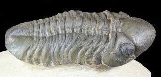 "Bargain, 2.3"" Reedops Trilobite - Laatchana, Morocco For Sale, #55991"