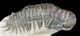 "Bargain, 2.1"" Crotalocephalina Trilobite For Sale, #56000"