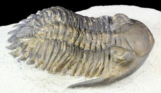 "Bargain, 2.2"" Hollardops Trilobite - Foum Zguid, Morocco For Sale, #55982"