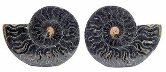 "Buy 4"" Split Black/Orange Ammonite Pair - Unusual Coloration - #55609"