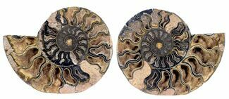 Cleoniceras - Fossils For Sale - #55611