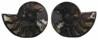 "2.8"" Split Black/Orange Ammonite Pair - Unusual Coloration For Sale, #55562"