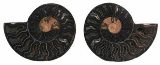 "2.7"" Split Black/Orange Ammonite Pair - Unusual Coloration For Sale, #55568"