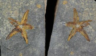 "2.3"" Ordovician Starfish (Petraster) Fossil - Positive & Negative For Sale, #56363"
