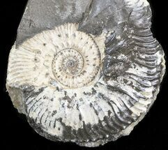 "Buy 1.8"" Wide Kosmoceras Ammonite - England - #42646"