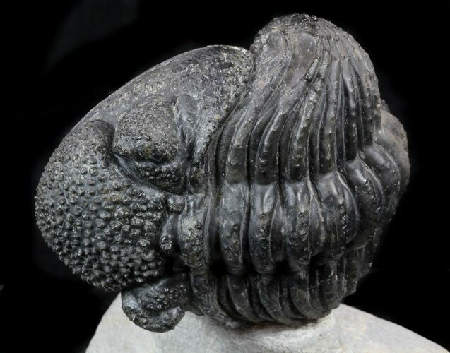 "Enrolled 5"" Drotops Trilobite On Pedestal of Rock"