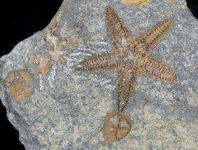 Petraster sp, Spinadiscus sp. - Fossils For Sale - #56820