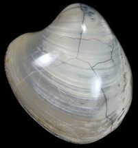 Polished Fossil Clam (Astarte) - Cretaceous For Sale, #55313