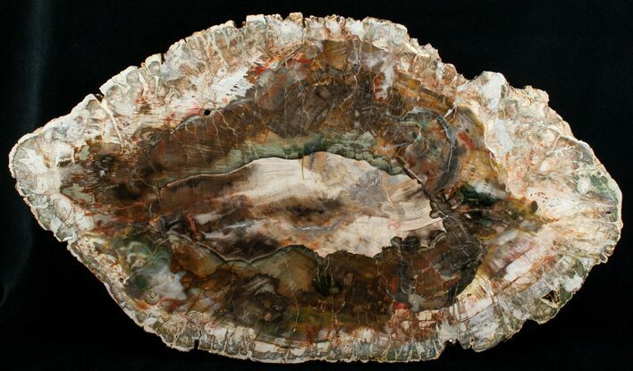 20x12 Inch Petrified Wood Slab - Madagascar