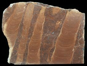 "Buy 7.7"" Polished Stromatolite (Jurusania) From Russia - 950 Million Years - #57559"