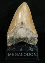 Large 5.37 Inch Megalodon Tooth For Sale, #5003