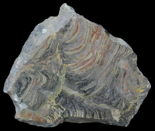 "5.1"" Polished Stromatolite From Russia - 950 Million Years"