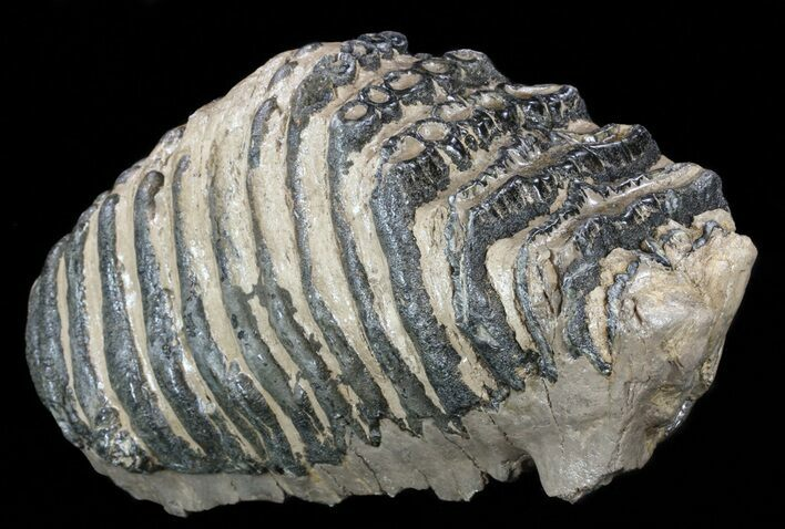 "Huge, 12.1"" Southern Mammoth M3 Molar"