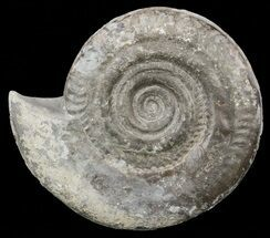 "4"" Jurassic Ammonite (Hildoceras) - England For Sale, #57899"
