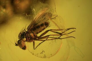 Detailed Fossil Fly (Diptera) In Baltic Amber For Sale, #58019