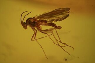 Buy Detailed Fossil Fly (Diptera) In Baltic Amber - #58093