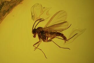 Buy Detailed Fossil Fly (Diptera) In Baltic Amber - #58099