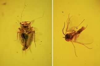 Buy Fossil Fly (Diptera) & Blattodea In Baltic Amber - #58141