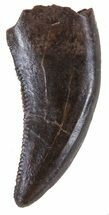 ".51"" Small Theropod Tooth (Raptor) - Montana For Sale, #58508"