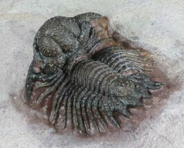 Detailed, Acanthopyge (Lobopyge) Trilobite - Nicely Prepared For Sale, #58730