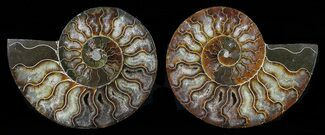 Cleoniceras - Fossils For Sale - #58707