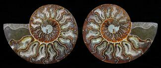 Cleoniceras - Fossils For Sale - #58710