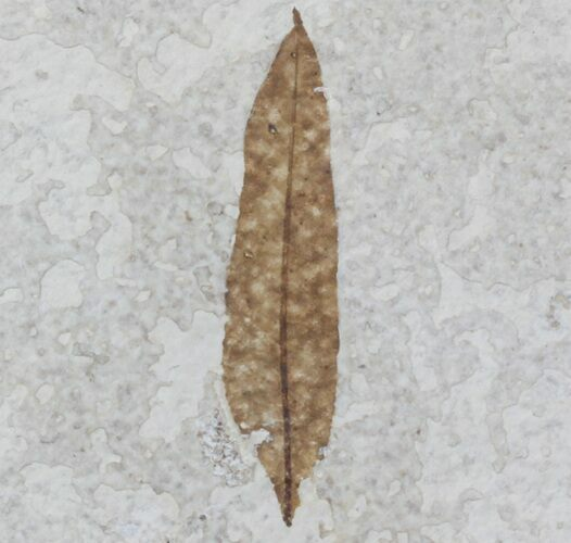 "2"" Fossil Leaf - 18 Inch Layer, Green River Formation"