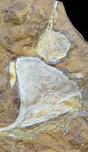 Fossil Ginkgo Leaves From North Dakota - Paleocene For Sale, #58979