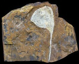 "Buy 4.3"" Fossil Ginkgo Leaf From North Dakota - Paleocene - #58984"