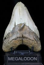 "Buy Large, 5.31"" Megalodon Tooth - North Carolina - #59014"