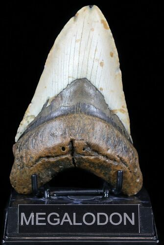"Robust, 5.13"" Megalodon Tooth - North Carolina"