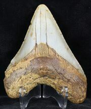 "Buy 4.04"" Megalodon Tooth - North Carolina - #59071"